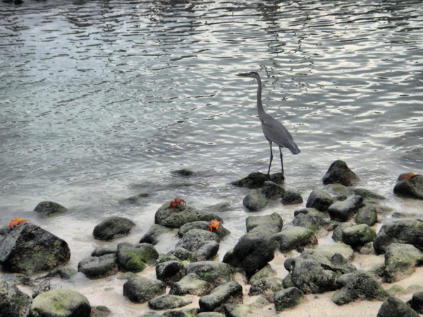 Heron and Crabs