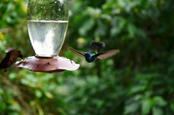 mindo ecuador hummingbird
