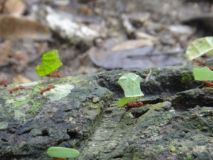 tayrona_park_leafcutter_ant