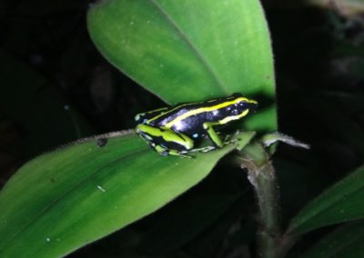 poison frog amazon colombia