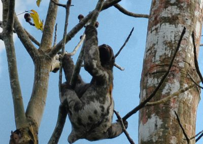 sloth in the amazon rainforest
