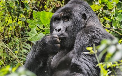 Photo Gallery – Gorilla Tracking in Uganda