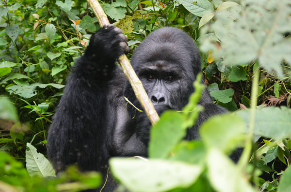 Gorilla Tracking in Uganda