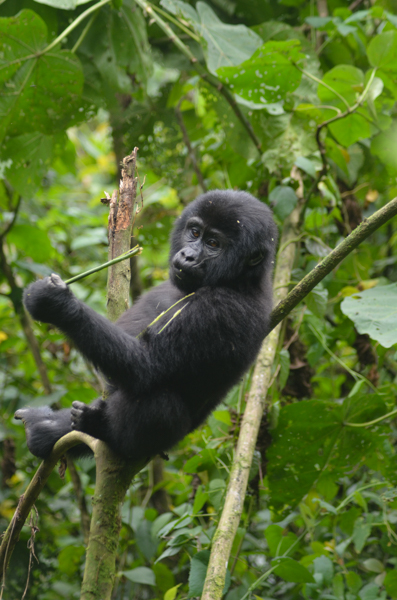 Bwindi Mountain Gorillas
