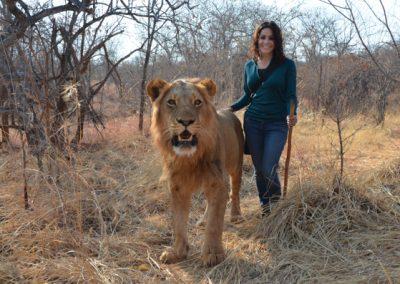 lion walk in zambia