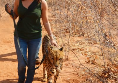 cheetah walk zambia