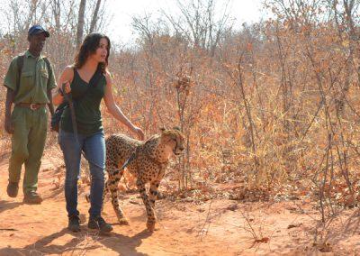 cheetah walk zambia